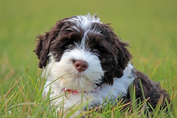 Woof, Woof: 5 Training Tips for Your New Portuguese Water Dogs